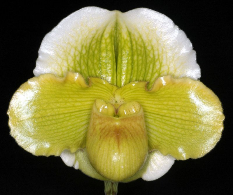 20115620 -  Paph Irish Lullaby  Michael  AM-AOS 80 points  11 12 1011.jpg