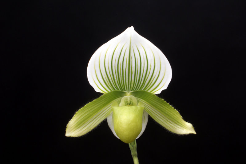 20113340  -  Paph. Hsinying Spring Green Cashs Memory AM AOS 80 points 3 12 20111.jpg