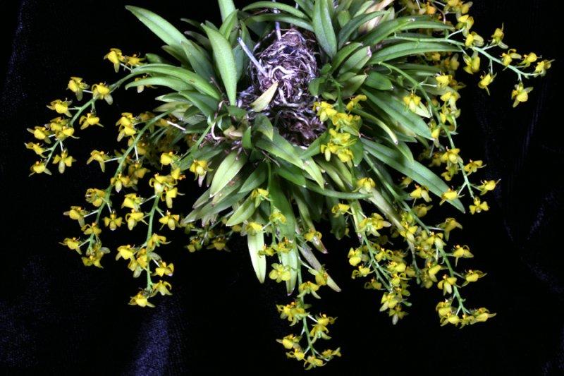 20113323 -   Zygostate apiculata  Rojohn  CCM AOS 82 points 2 19 2011.jpg