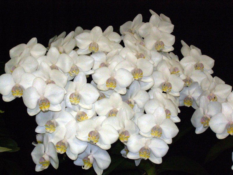 20113314  -  Phal. Zuma Camreal  Joe  CCM AOS 87 points  2 5 2011.jpg