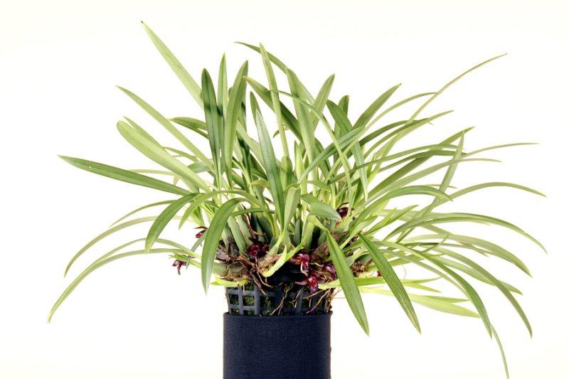 20113308  --Maxillaria schunkeana Livingston  CCM AOS 82 points 1 29 2011.jpg