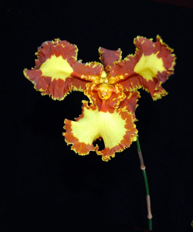 20124619  -  Psychopsis Mariposa  Fernbrook JC/AOS  5-11-2012.jpg