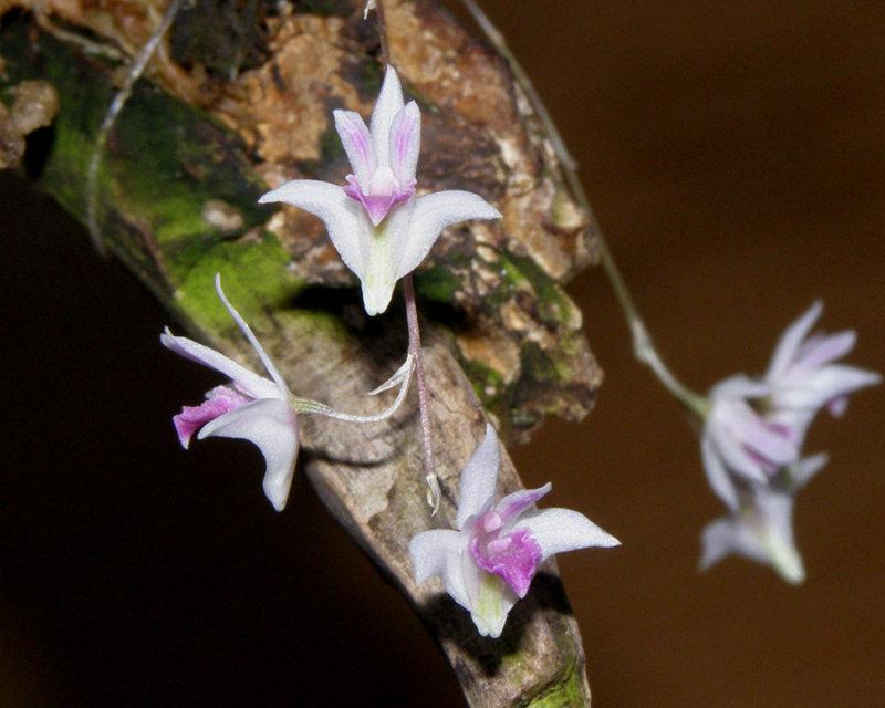 20113320  - Dendrobium elliotianum  Silas  CHM AOS 84 points  2-5-2011.jpg