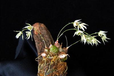 20124683  -  Dendrobium gregulus CBR/AOS 3-3-2012