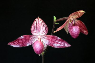 20115600  -  Paph. Delrosi Ovation AM AOS 82 points 3 26 2011.jpg