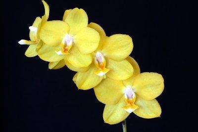 20115603  -  Doritaenopsis Carole Hoyt Sunprarie HCC AOS 77 pints   3 26 2011.jpg
