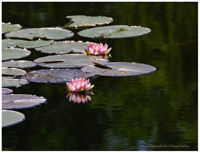 Lily Pads, Parc Angrignon
