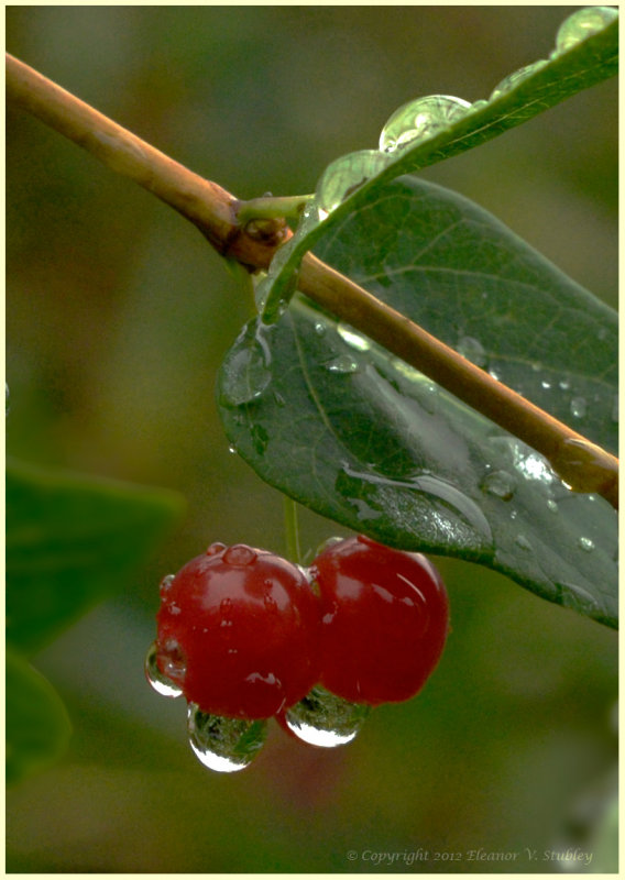Berries Catching the Drops