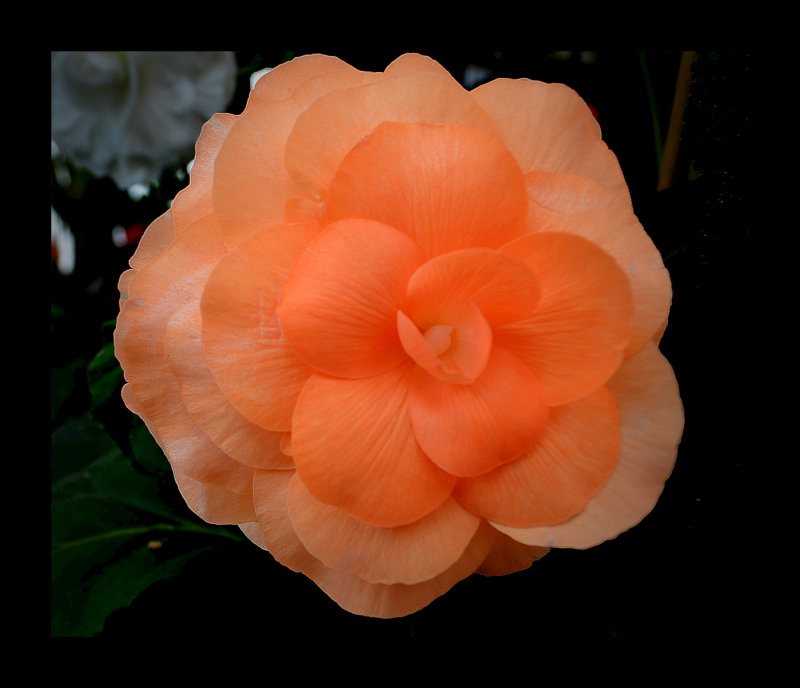 Begonia..6.