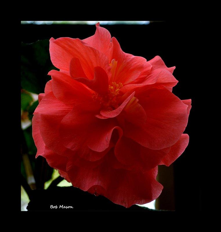 Begonia..8.