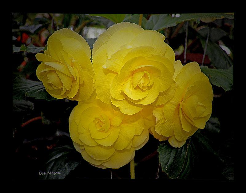 Begonia..16.