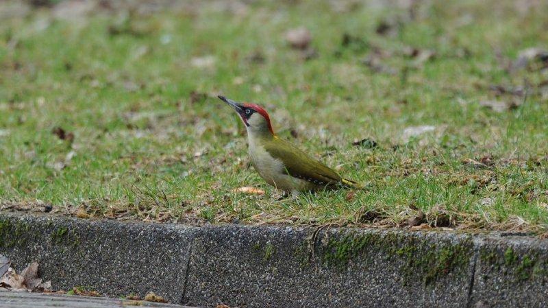 DSC_6694F groene specht (Picus viridis, Green Woodpecker).jpg