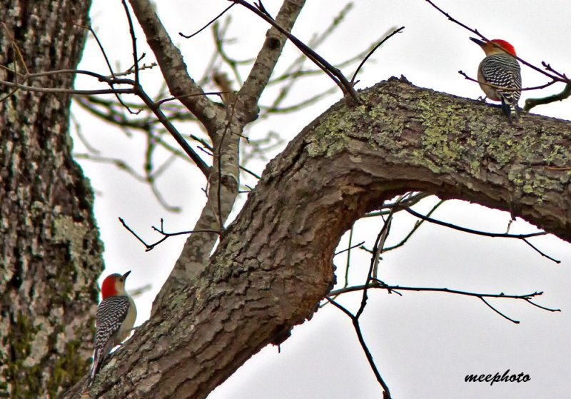 Whats Better than ONE Red-Bellied Woodpecker?