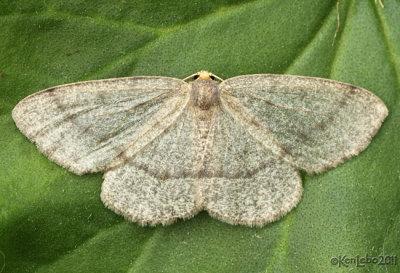 Yellow-headed Looper Moth Lambdina pellucidaria #6892