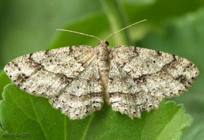 Melanolophia Signataria #6621