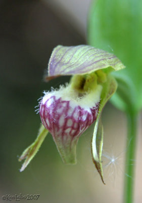 Rams-head Ladys Slipper  Cypripedium arietinum