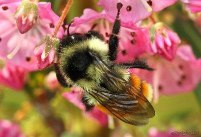 Tricolored Bumble Bee Bombus ternarius