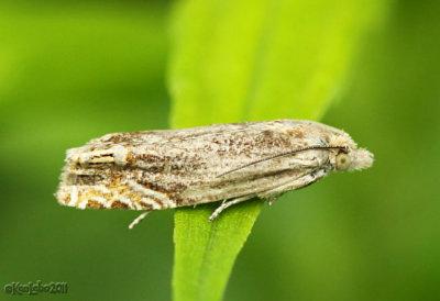 Beautiful Phaneta Moth Phaneta formosana #2916
