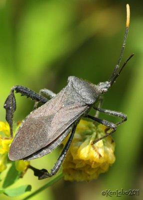 Leaf-footed Bug Acanthocephala sp.