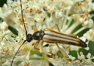 Longhorned Beetle Analeptura lineola