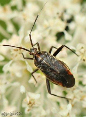 Plant Bug Taedia