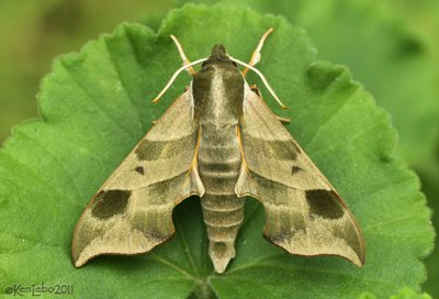 Hog Sphinx Moth Darapsa myron #7885