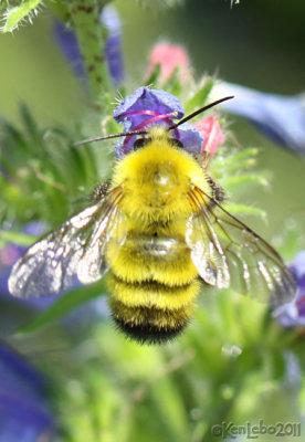 Yellow Bumble Bee Bumbus fervidus
