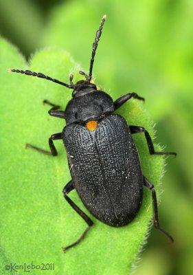 Fungus Beetle Penthe obliquata
