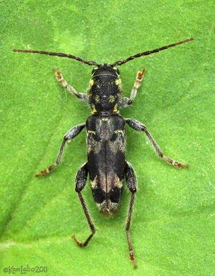 Longhorned Beetle Xylotrechus colonus