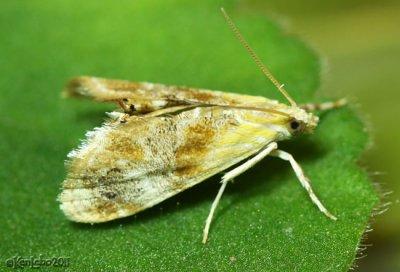 Julias Dicymolomia Moth Dicymolomia julianalis #4889