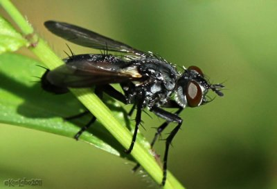 Fly - Cylindromia