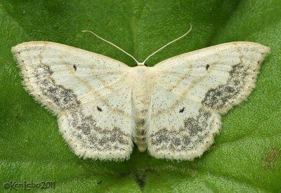 Large Lace-border Scopula limboundata #7159