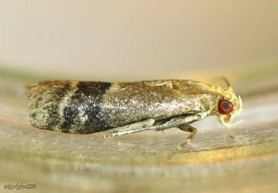 Broad-banded Eulogia Moth Eulogia ochrifrontella # 5999