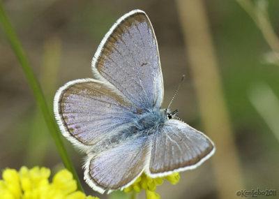 Boisduvals Blue