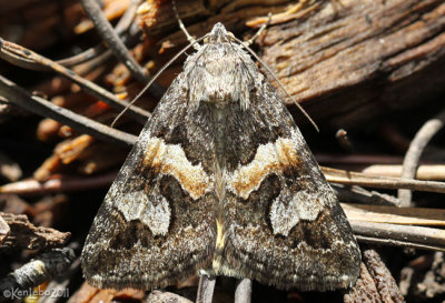 Northern Arches Moth Drasteria hudsonica #8632