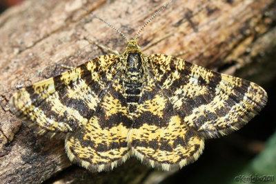 Black-banded Orange Moth Epelis truncataria #6321
