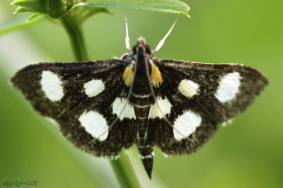White-spotted Sable Moth Anania funebris #4958