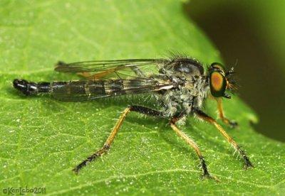 Robber Fly Neoitamus orphne