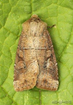 Normans Quaker Moth Crocigrapha normani 10501