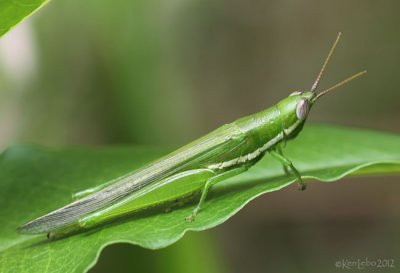 Glassy-winged Toothpick Grasshopper