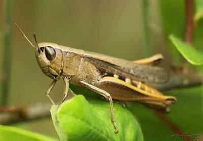 Brown Winter Grasshopper Amblytropidia mysteca