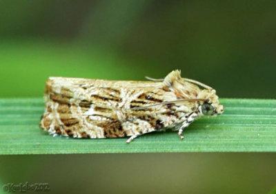 Macrame Moth Phaecasiophora confixana #2771