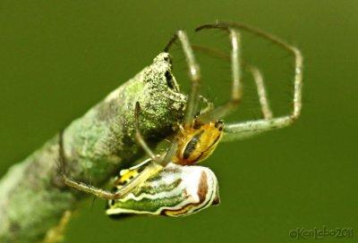 Basilica Spider  Mecynogea lemniscata