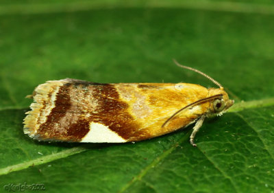 White-triangle Tortrix Moth Clepsis persicana #3682