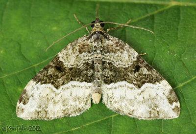 Sharp-angled Carpet Moth Euphyia intermediata #7399