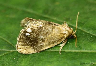 Jeweled Tailed Slug Moth Packardia geminata #4659