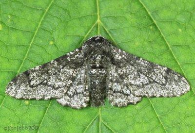 Peppered Moth Biston betularia #6640
