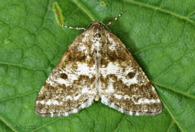 Powder Moth Eufidonia notataria #6638