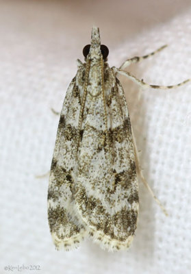 Double-striped Scoparia Moth Scoparia biplagialis #4716