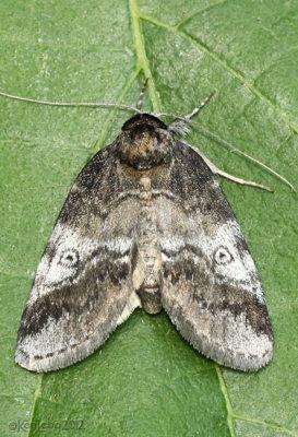 Pale Baileya Moth Baileya levitans #8972